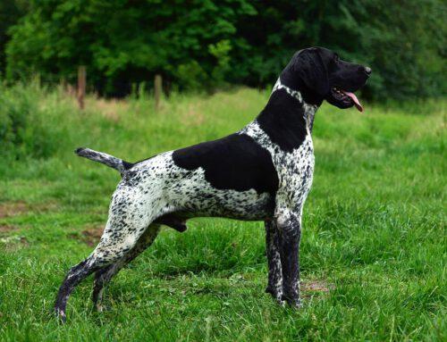 Hundemarkt: Don II vom Delme Horst